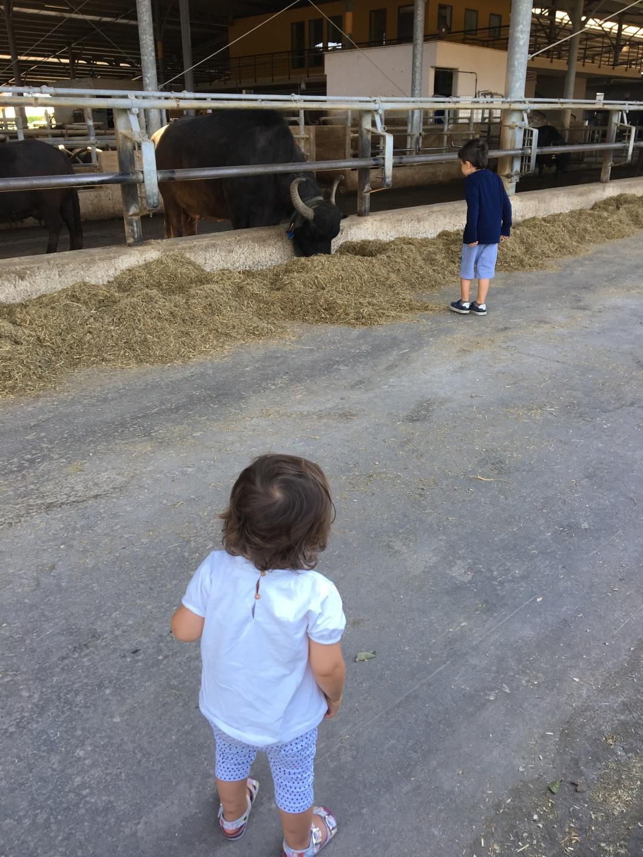 Cilento bufale